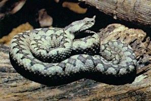 Pazite se ugriza zmije, posebno tokom leta