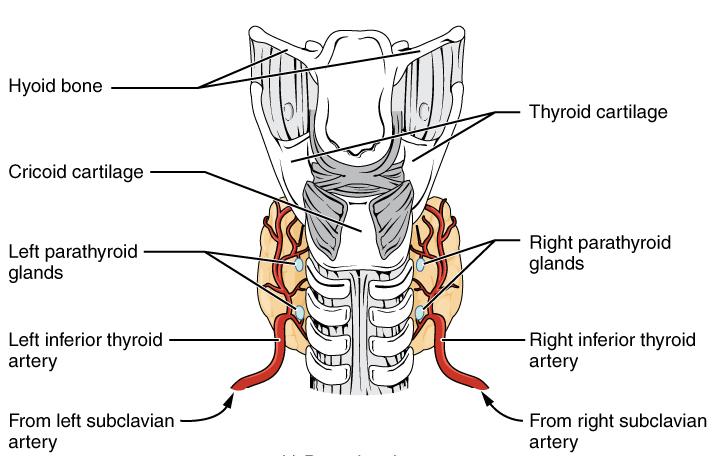 Štitna žlezda