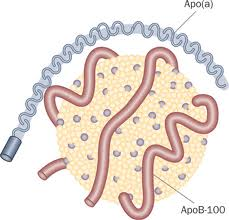 Lipoprotein (a) krivac za srčani udar