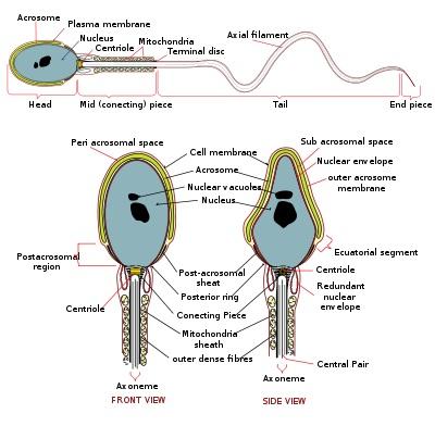 Kvalitativne osobine spermatozoida utiču na plodnost