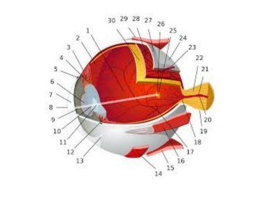 Prilikom okluzije centralne retinalne vene nastaju na očnom dnu karakteristične promene koje su rezultat prekida protoka krvi kroz venu.