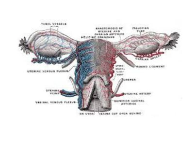 Bartolinijeve žlezde se nalaze u donjoj trećini velikih usana, a njihov sadržaj se izliva na unutrašnjoj strani malih usana stidnice. Kod neadekvatne higijene, nošenja sintetičkog rublja i tesne odeće može doći do infekcije i zapaljenja.
