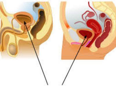 Mokraćna bešika se nalazi između pubične kosti i materice. Ona predstavlja kesu rastegljivih zidova u kojoj se skuplja mokraća stvorena u bubrezima. Kada se zidovi bešike skupe mokraća se potiskuje u uretru, koja predstavlja uzanu cev dugačku samo 2.5 - 3cm.