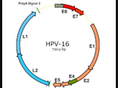 Humani papiloma virusi (HPV) grupa je virusa široko rasprostranjenih u populaciji koji, zavisno od tipa, uzrokuju nastanak dobroćudnih i zloćudnih promena kože i sluzokoža.