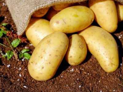 Istraživanje britanske laboratorije za ispitivanje netolerancije na hranu 'Jorktest' pokazalo je da 99 % ljudi dobro podnosi krompir.