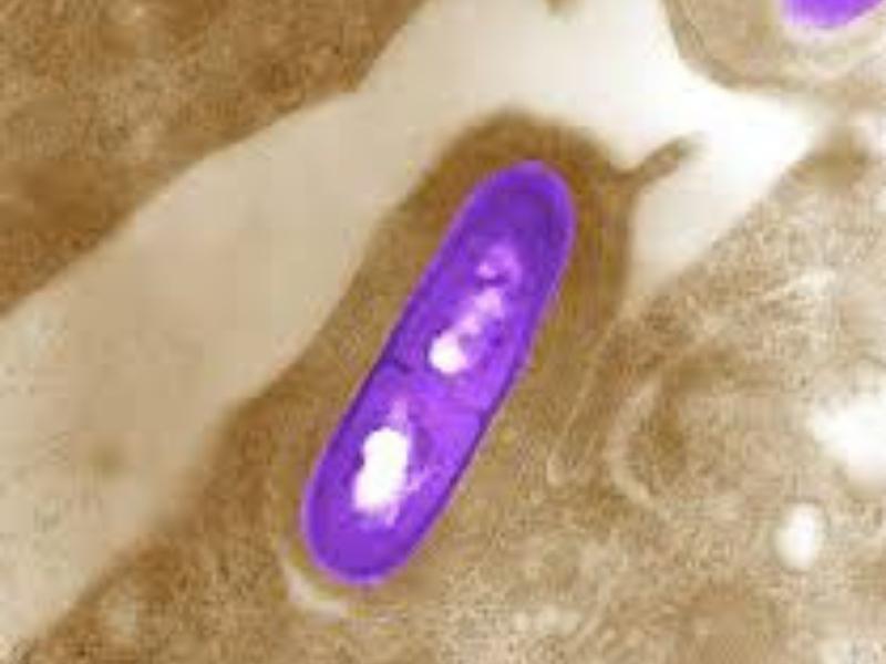 Značajna karakteristika L. monocytogenes jeste da raste i na temperaturi od 4 °C, što znači da čuvanje hrane u frižideru nema značajno dejstvo na sprečavanju rasta ove bakterije.