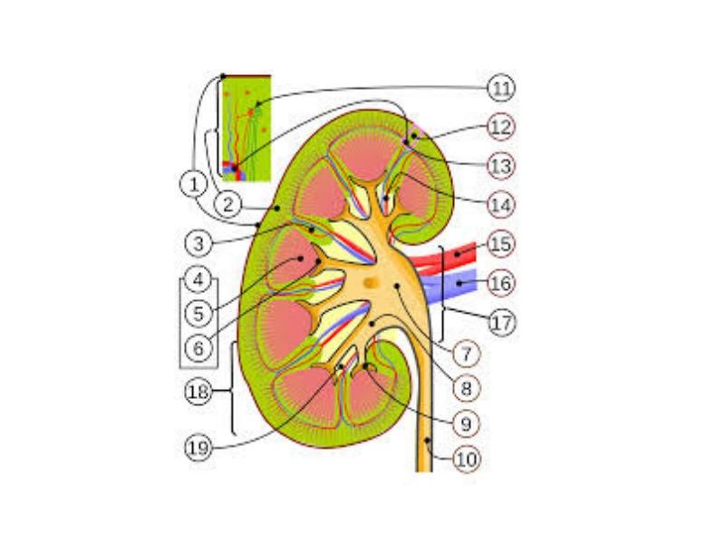 Analgezična nefropatija je hronični interticijumski nefritis koji se sreće u pacijenata, uglavnom žena, koje konzumiraju velike količine kombinacije analgetika, obično više godina. Dovodi do atrofije bubrega i bubrežne slabosti.