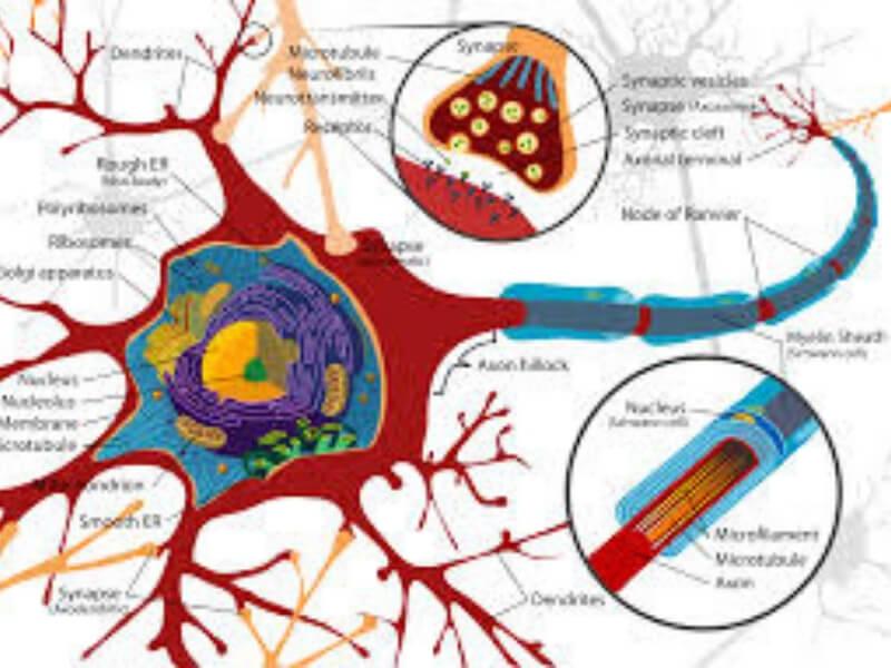 Kako neuroni stare