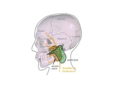 Akutni sijaloadenitis izazvan bakterijama najčešće pogađa velike pljuvačne žlezde u prvom redu parotidnu a zatim submandibularnu. Akutno zapaljenje sublingvalne pljuvačne žlezde je ređe.