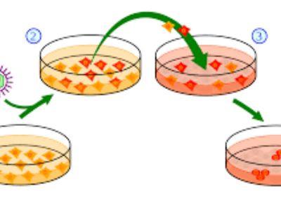 Salo isisano liposukcijom sa bokova ili stomaka, moglo bi primenom nove tehnologije da postane nov izvor matičnih ćelija.