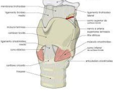 Perihondritis larinksa (perichondritis laryngis) predstavlja zapaljenje perihondrijuma hrskavičavog skeleta larinksa.